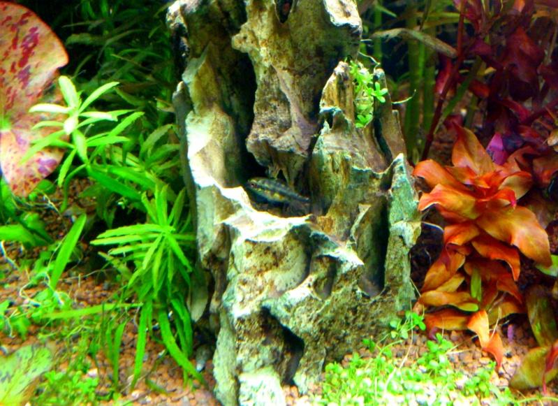 aquarium 54litres planté - Page 3 06910