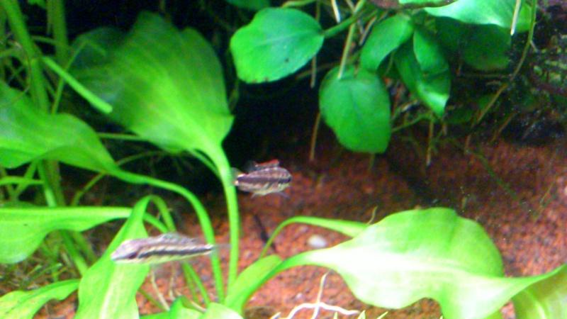aquarium 54litres planté - Page 3 07210