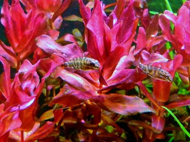 aquarium 54litres planté - Page 2 08010