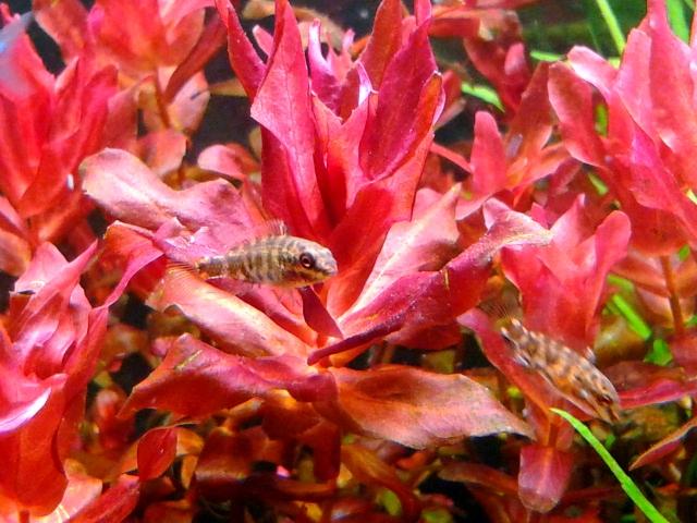 aquarium 54litres planté - Page 2 08210