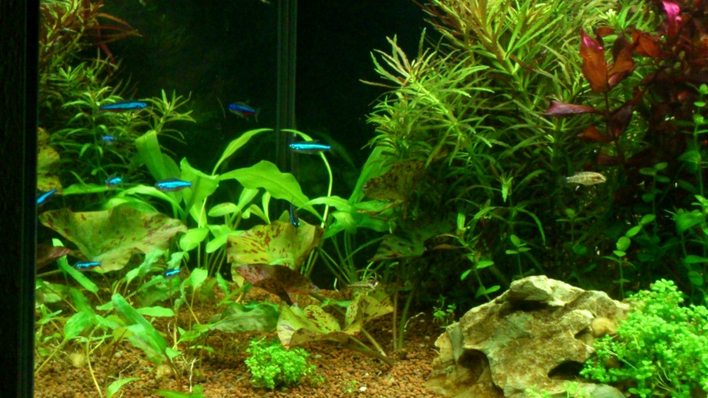 aquarium 54litres planté - Page 2 13110