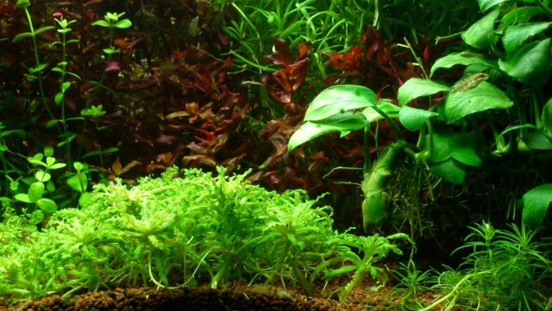 aquarium 54litres planté - Page 2 13510