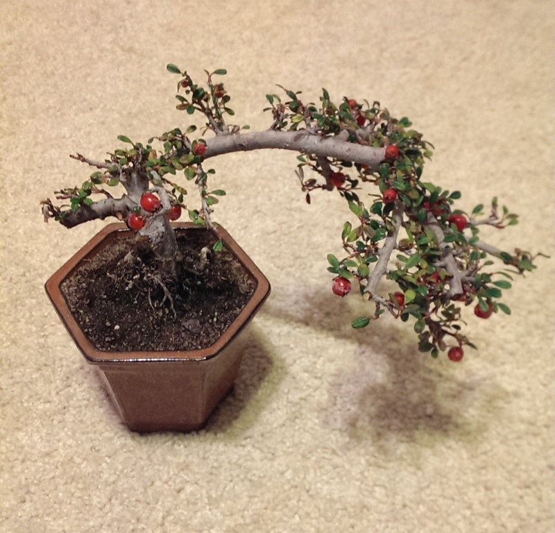 Cotoneaster Imag0011