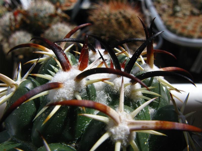 Coryphantha tripugionacantha Coryph12