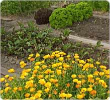Faites votre propre jardin médicinal Herbor10