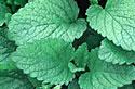 Faites votre propre jardin médicinal Herbor12