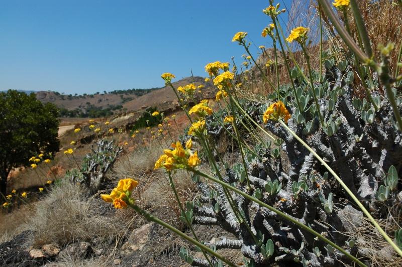 Euphorbia, Brighamia et Operculicaria 02-amb10