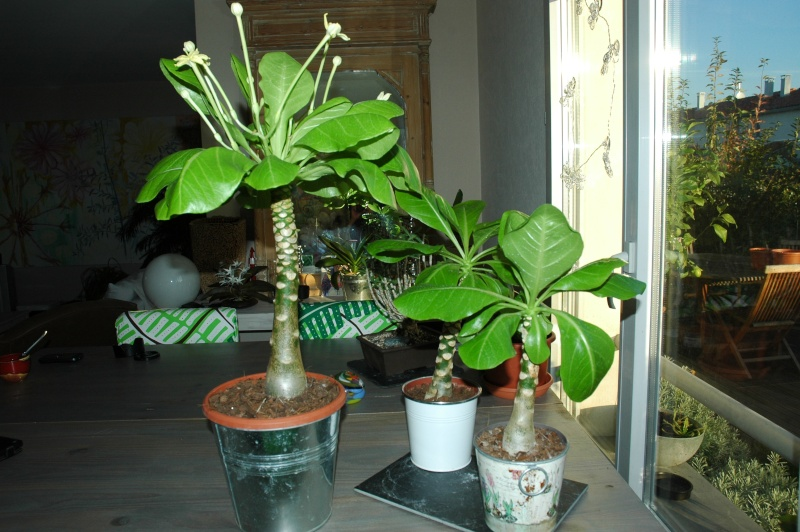 Euphorbia, Brighamia et Operculicaria 28-10-10