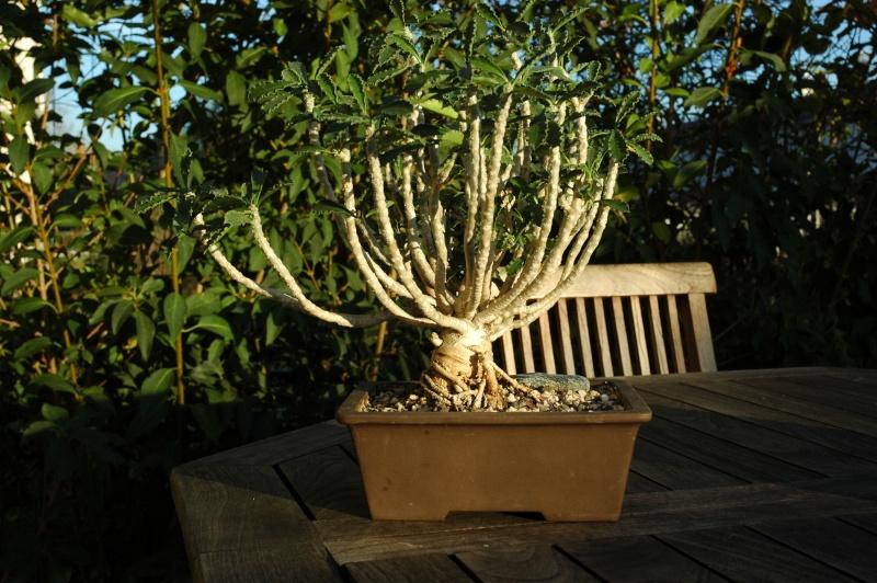Euphorbia, Brighamia et Operculicaria 28-10-11
