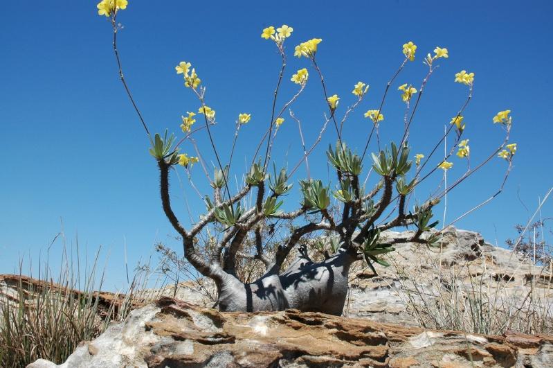 Euphorbia, Brighamia et Operculicaria Mada_110