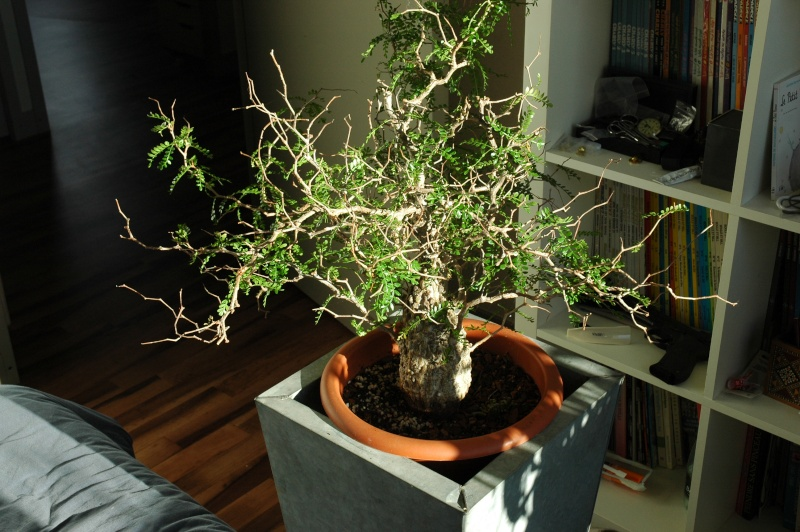Euphorbia, Brighamia et Operculicaria Opercu10