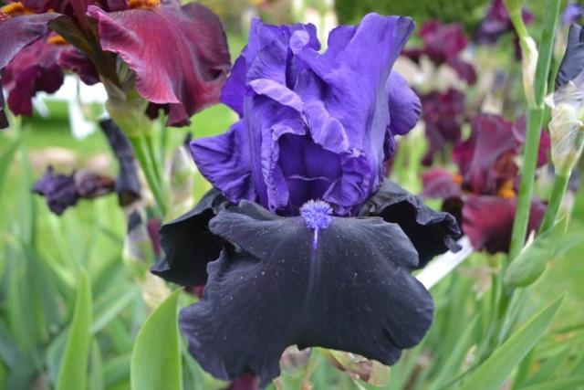 votre plus bel iris - Page 2 Matt_m13