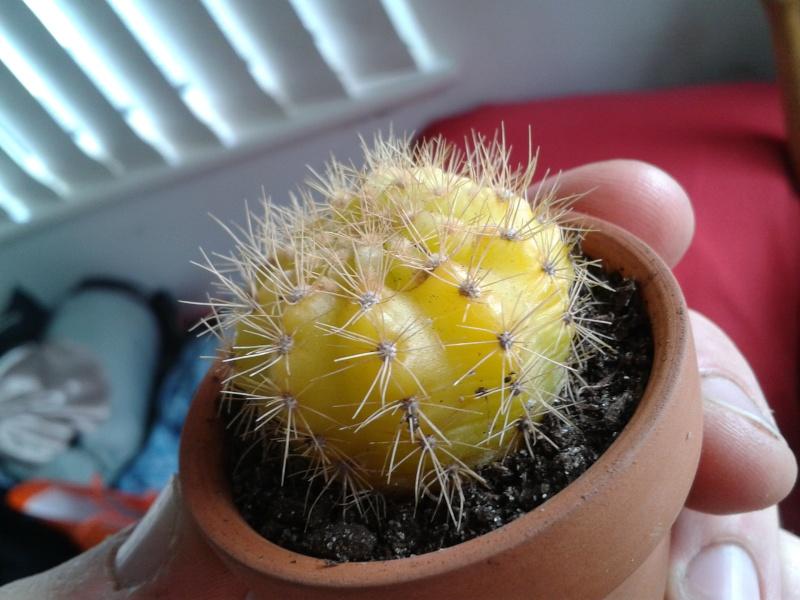 Yellow Cacti ID help please 2013-120