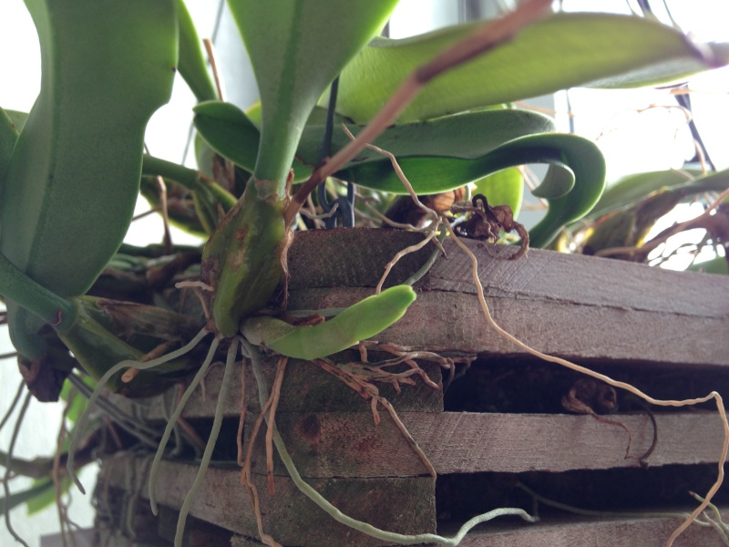 Dendrobium oder doch Bulbophyllum? Img_0510