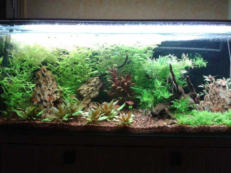 240 litres très planté  (j 'ai des algues) - Page 6 2014-033