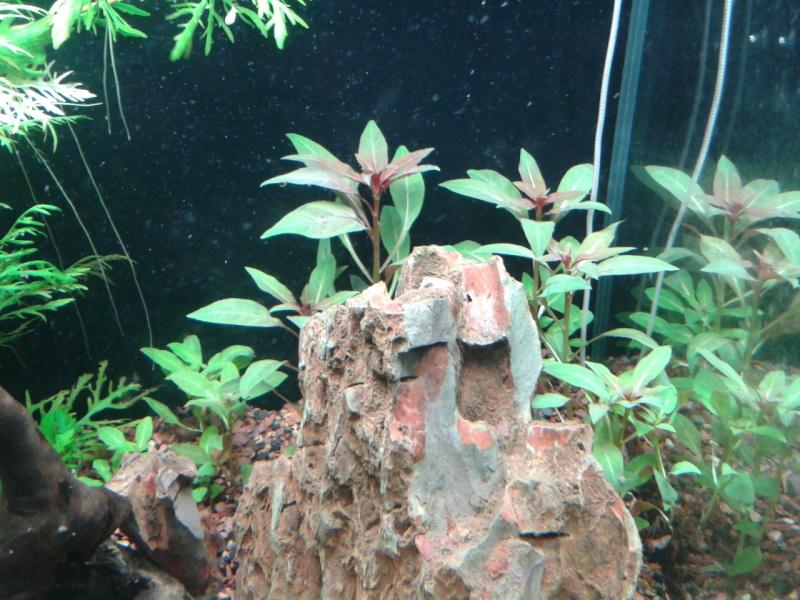 240 litres très planté  (j 'ai des algues) - Page 6 2014-034