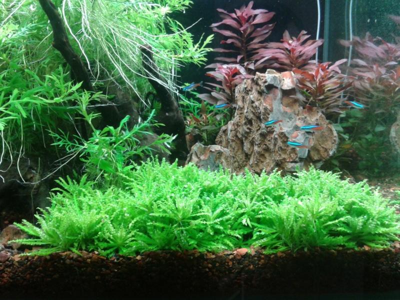 240 litres très planté  (j 'ai des algues) - Page 7 2014-047