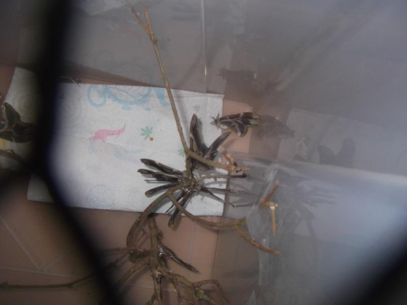 Questions concernants l'élevage de Bombyx Eri ....!!! Dscf4612