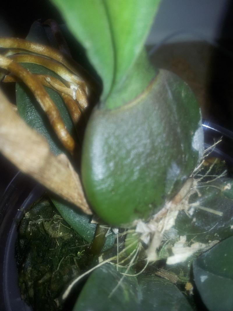 Psychopsis Mariposa 'GV' Img_2034