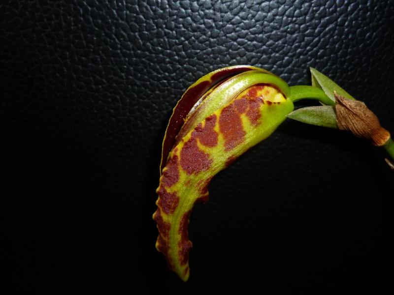 Psychopsis Mariposa 'GV' P1010210