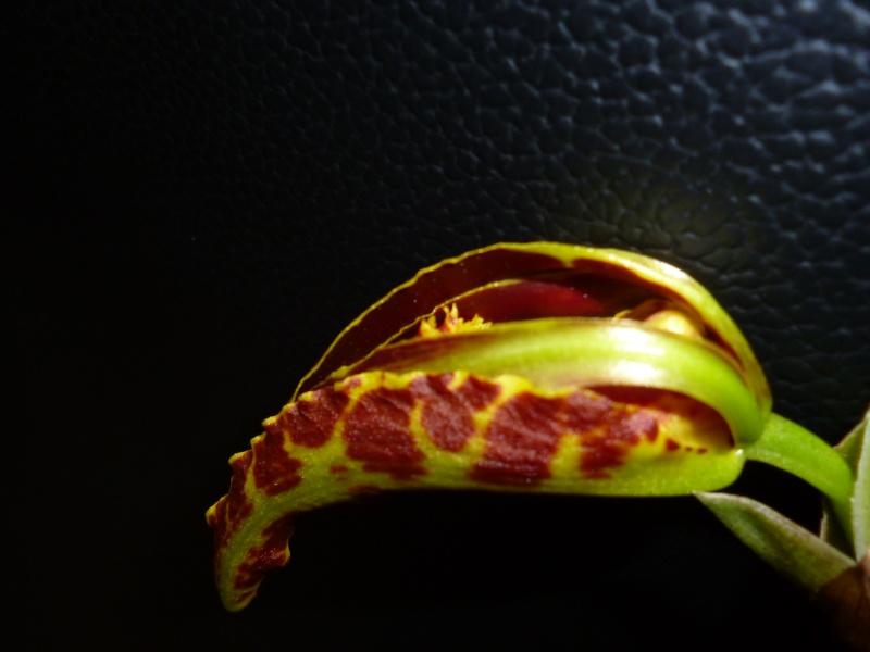 Psychopsis Mariposa 'GV' P1010211