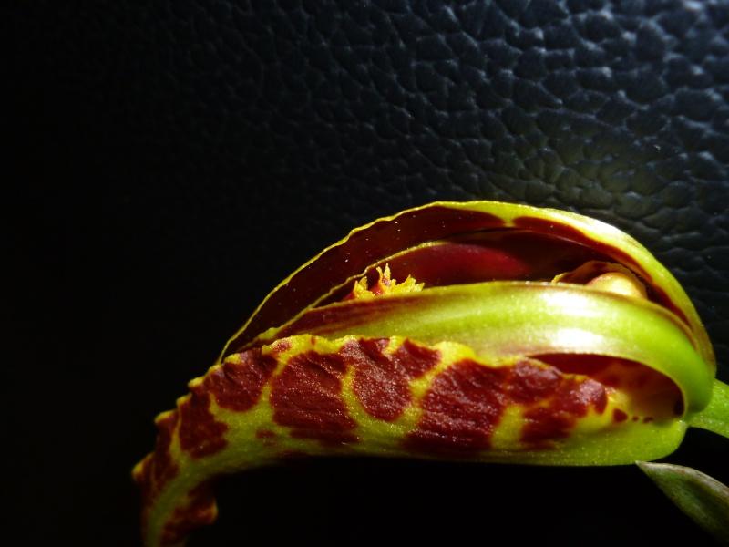 Psychopsis Mariposa 'GV' P1010212