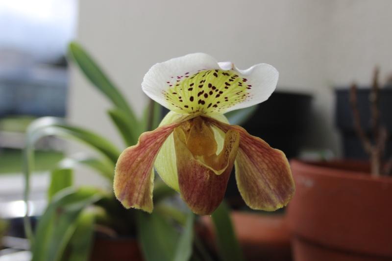 Mes orchidées + opération sauvetage d'une Vanda  Img_3713