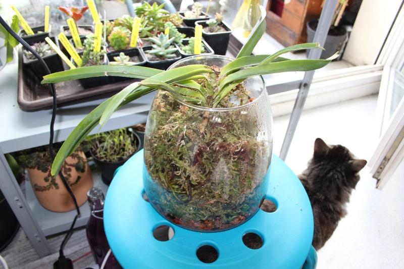 Mes orchidées + opération sauvetage d'une Vanda  Img_3714