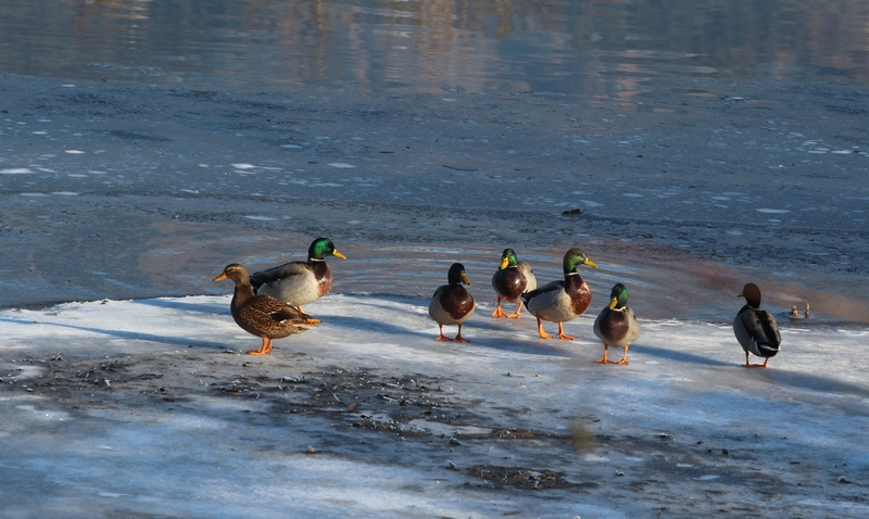 holidays on ice , version cygnes et canards Canard10