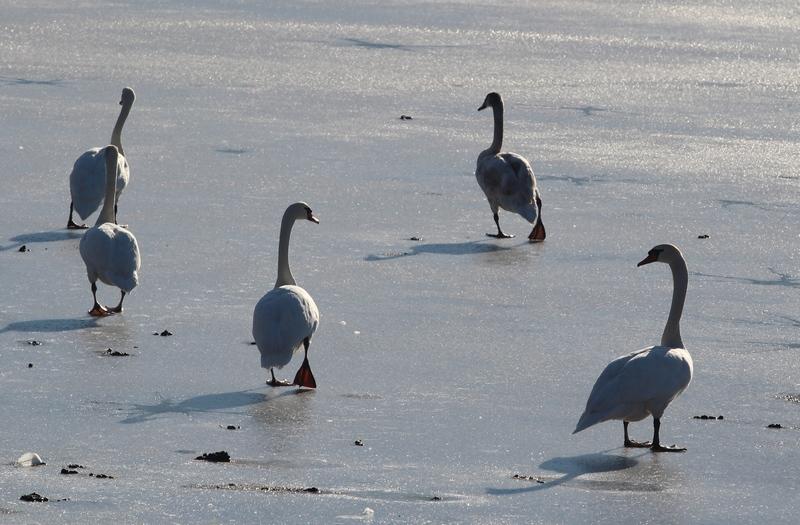 holidays on ice , version cygnes et canards Cygnes10