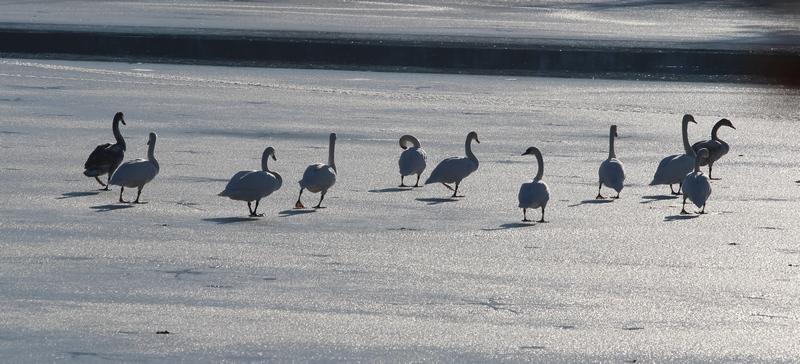 holidays on ice , version cygnes et canards Cygnes12