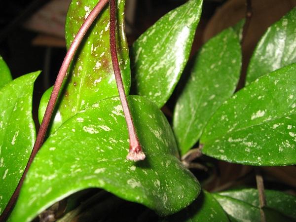 Hoya Pubicalyx, wann blüht sie ? Img_6312