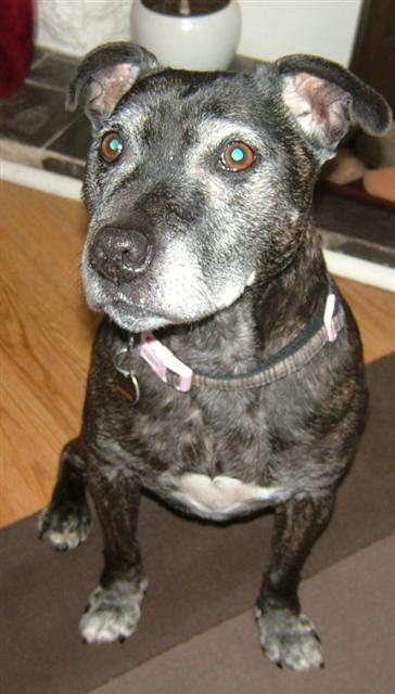 Bess SBT 10 years sweet girl loves anything and everybody cats too :) Bess_f11