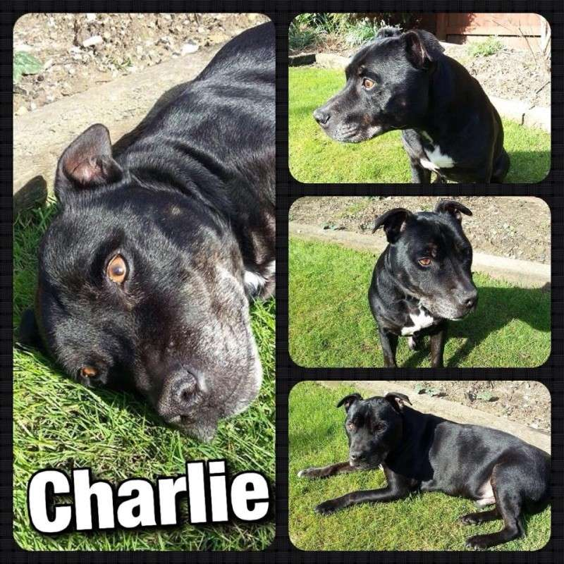 Charlie sbt needs a home 12 years old Southampton area Charli13