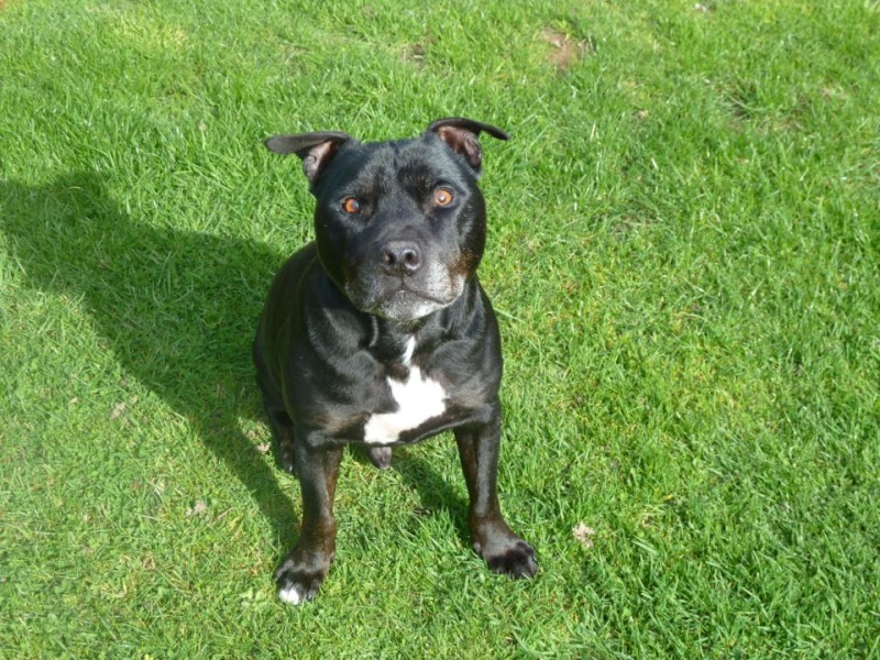 Charlie sbt needs a home 12 years old Southampton area Charli15
