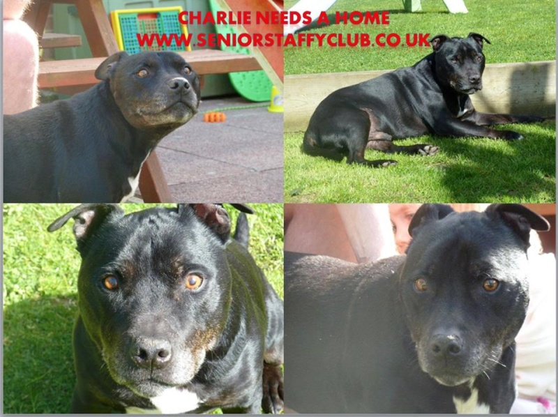 Charlie sbt needs a home 12 years old Southampton area Charlo11