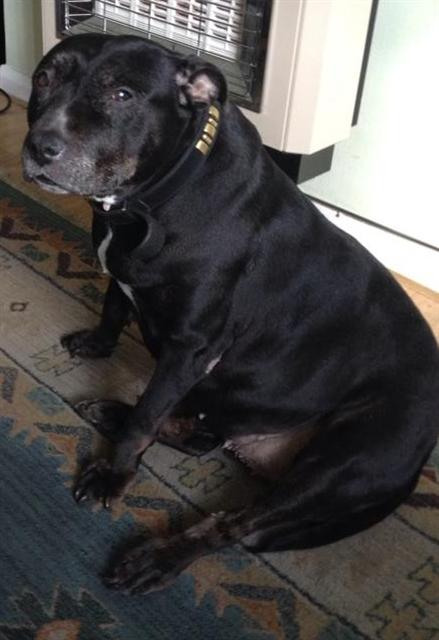 Chloe 12 years old sbt needs a foster or forever home desperate. Chloe11