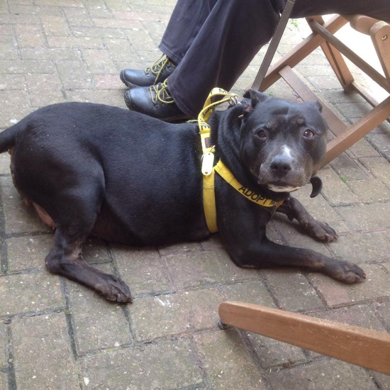 Chloe 12 years old sbt needs a foster or forever home desperate. Chloe_15