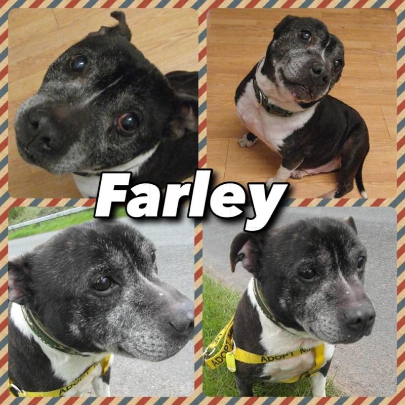 Farley sbt 10-11 years Kennels Worcrestershire Farley13