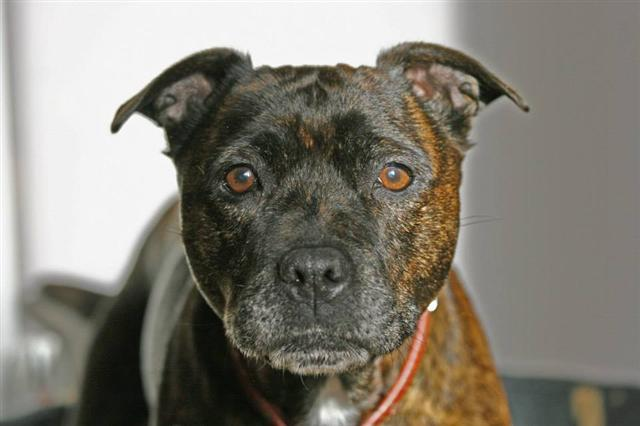 Kelly needs Foster or forever home, in kennels Worcester. Kelly_11