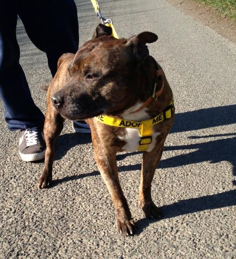 Paddy 7 years SBT needs a home of his own Worcester kennels Paddy_11