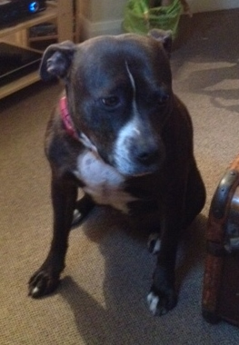 Scrattie  7 years female SBT needs a new home Scratt11