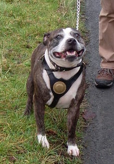 Spike need a Foster or forever home, in Kennels Worcester Spike_11