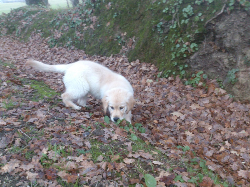 Les aventures d'Icare, Golden retriever  2013-114