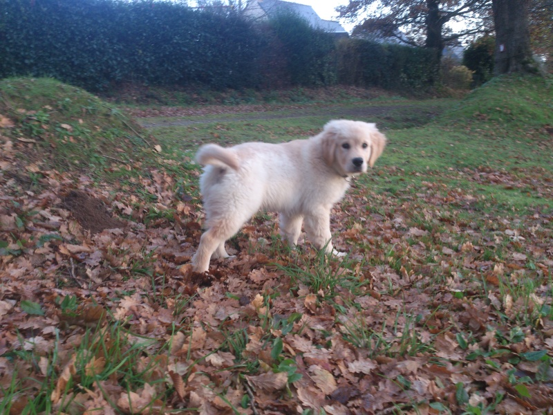 Les aventures d'Icare, Golden retriever  2013-116