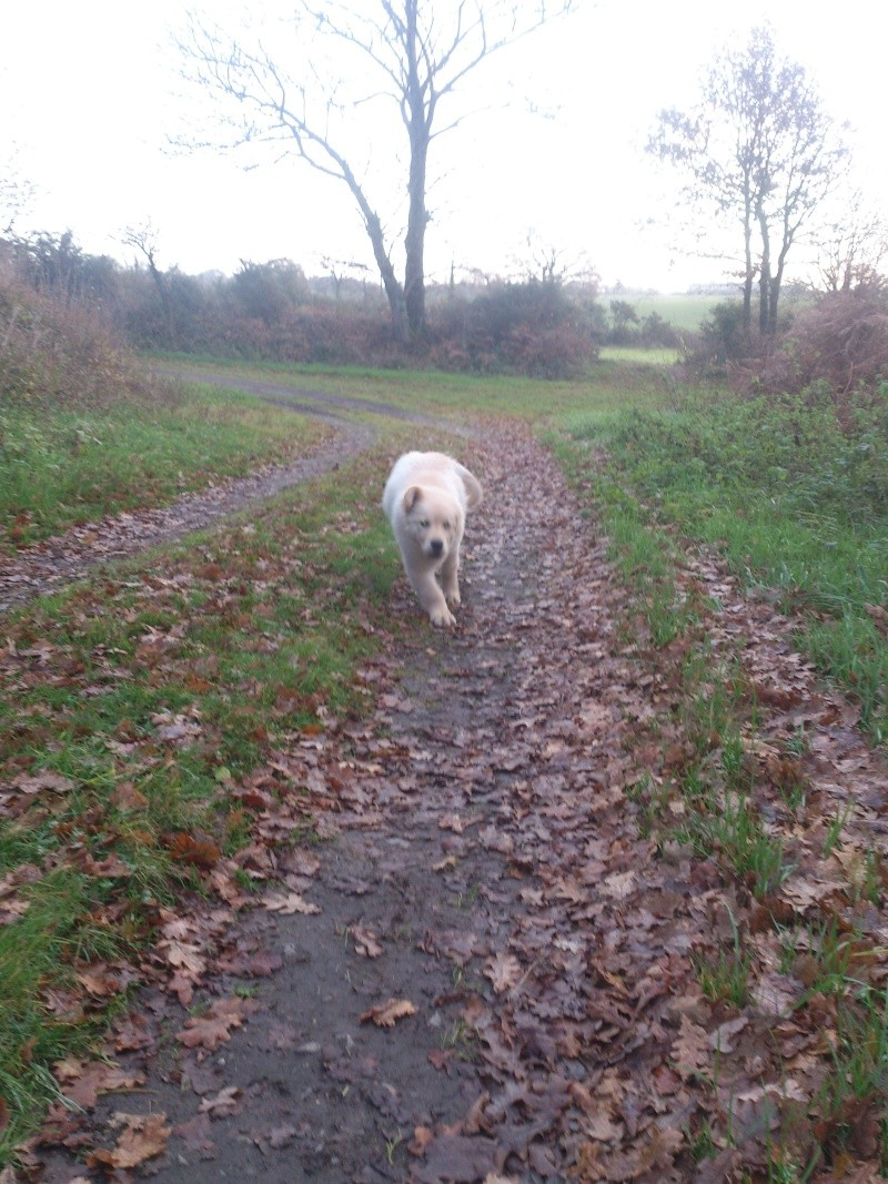 Les aventures d'Icare, Golden retriever  2013-118