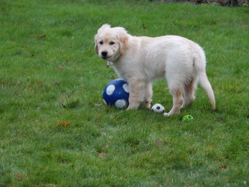Les aventures d'Icare, Golden retriever  2013-125