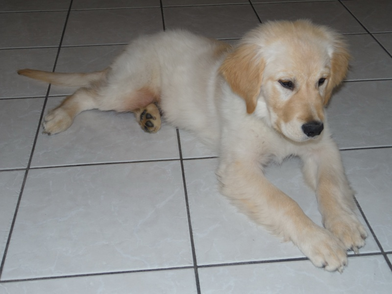 Les aventures d'Icare, Golden retriever  2014-010