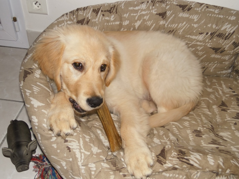 Les aventures d'Icare, Golden retriever  2014-011