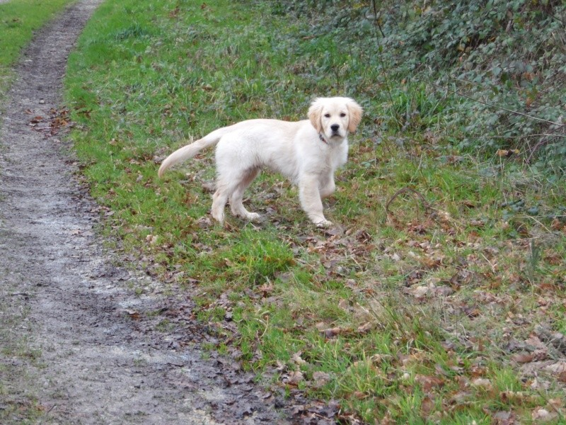 Les aventures d'Icare, Golden retriever  2014-012